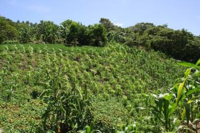 El cafetal en los altos de Chiapas