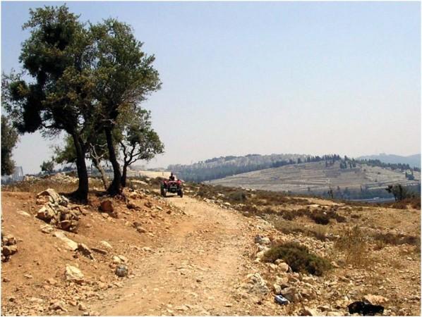 Olivos en Beit Iksa cerca de la entrada oeste de Jerusalén