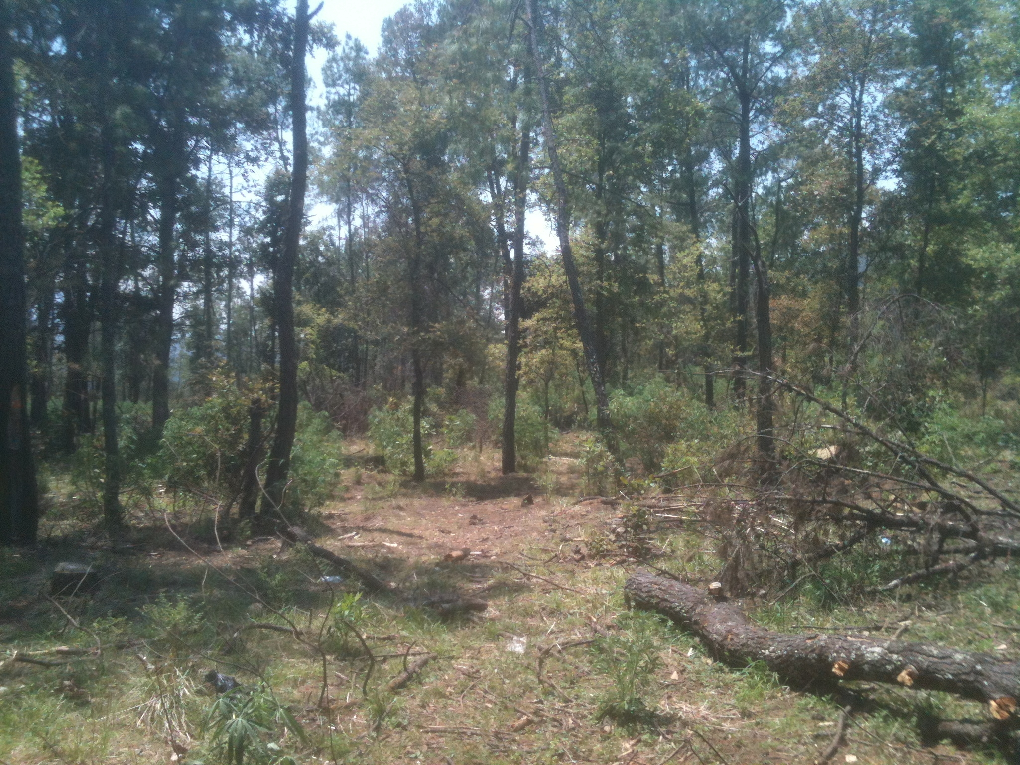 Bosque devastado en Cherán