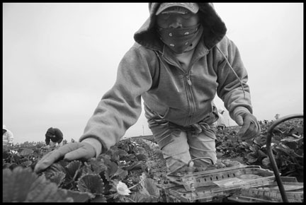 SANTA MARIA, CA - 29MARCH12 - A crew of indigenous Oaxacan farm workers pick strawberries in a field near Santa Maria.  Many members of the crew are Mixteco migrants from San Vincente, a town in Oaxaca, Mexico.  The earth in the beds is covered in plastic, while in between the workers walk in sand and mud.  Working bent over the plants all day is very painful and exhausting.  Pictured:  Hieronyma Hernandez.  Copyright David Bacon