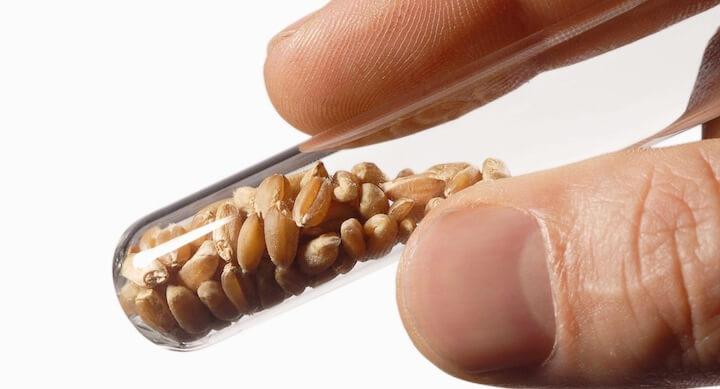 Semillas-transgenicas